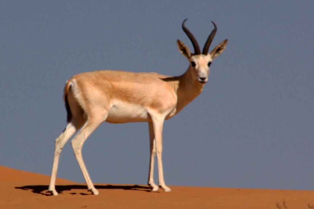 Sand_gazelle_(gazella_subgutturosa_marica)